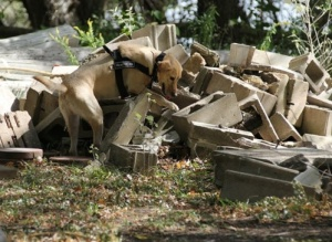 Larson's Yellow Lab Sifting Through Rubble